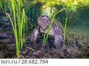 Купить «Common snapping turtle (Chelydra serpentina) beneath a canopy of aquatic plants. Ichetucknee Springs State Park, Fort White, Florida, USA», фото № 28682794, снято 23 июля 2018 г. (c) Nature Picture Library / Фотобанк Лори