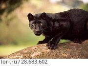 Купить «Black panther / melanistic Leopard (Panthera pardus) on log, captive. Non-ex», фото № 28683602, снято 17 августа 2018 г. (c) Nature Picture Library / Фотобанк Лори