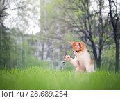Купить «Funny kitten catches the paw of the bumblebee. Summer, green grass», фото № 28689254, снято 17 июля 2018 г. (c) Ирина Козорог / Фотобанк Лори