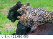 Купить «RF - Black panther / melanistic Leopard (Panthera pardus) female with normal spotted cubs playing on her back, captive.», фото № 28696086, снято 23 октября 2018 г. (c) Nature Picture Library / Фотобанк Лори