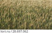 Купить «Ears of cereals in the field move wholesale wind action», видеоролик № 28697062, снято 6 июля 2018 г. (c) Anatoly Timofeev / Фотобанк Лори
