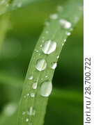 Купить «Droplets on wheat leaf.», фото № 28700722, снято 8 мая 2018 г. (c) easy Fotostock / Фотобанк Лори