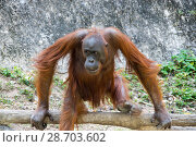 View of orangutan (2017 год). Стоковое фото, фотограф Юлия Белоусова / Фотобанк Лори