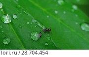 Купить «Close-up ant and aphid», видеоролик № 28704454, снято 18 июня 2018 г. (c) Игорь Жоров / Фотобанк Лори