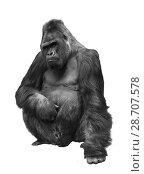 Купить «Горилла, род приматов, на белом фоне изолировано», фото № 28707578, снято 7 февраля 2014 г. (c) Наталья Волкова / Фотобанк Лори