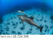 Купить «Indo-Pacific bottlenose dolphin (Tursiops aduncus) Safaga, Red Sea, Egypt.», фото № 28724398, снято 22 июля 2018 г. (c) Nature Picture Library / Фотобанк Лори