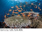 Купить «Orange scalefin anthias (Pseudanthias squamipinnis) on  table coral (Acropora sp.) Safaga, Egypt, Red Sea.», фото № 28724406, снято 22 июля 2018 г. (c) Nature Picture Library / Фотобанк Лори