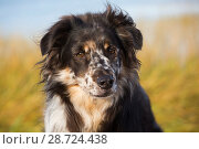 Купить «Australian Shepherd dog on beach, Connecticut, USA.», фото № 28724438, снято 15 октября 2018 г. (c) Nature Picture Library / Фотобанк Лори