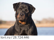 Rottweiler, 7-month female,  on shore of Long Island Sound, Connecticut, USA. Стоковое фото, фотограф Lynn M. Stone / Nature Picture Library / Фотобанк Лори