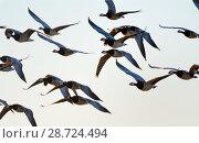 Купить «Barnacle goose (Branta leucopsis) migrant flock in flight at dusk, Matsalu National Park, Estonia, September.», фото № 28724494, снято 20 мая 2019 г. (c) Nature Picture Library / Фотобанк Лори