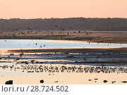 Купить «Barnacle goose (Branta leucopsis) migrant flock flying in to join others resting and foraging at a roost site, Matsalu Bay at dusk, Matsalu National Park, Haeska, Estonia, September.», фото № 28724502, снято 21 апреля 2019 г. (c) Nature Picture Library / Фотобанк Лори