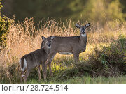 Купить «White-tailed deer (Odocoileus virginianus),  mother and fawn, Finland. Introduced species.», фото № 28724514, снято 16 августа 2018 г. (c) Nature Picture Library / Фотобанк Лори