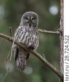 Купить «Great grey owl (Strix nebulosa), with prey,  European mole Talpa europaea), Finland, September», фото № 28724522, снято 23 июля 2018 г. (c) Nature Picture Library / Фотобанк Лори