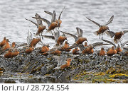 Купить «Flock of Red Knot (Calidris canutus) flying in to feed whilst migrating to their breeding grounds farther north. Ekkeroy, Varanger fjord, Finnmark, Norway», фото № 28724554, снято 19 июля 2018 г. (c) Nature Picture Library / Фотобанк Лори