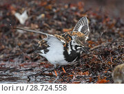 Купить «Ruddy turnstone (Arenaria interpres) flapping wings after bathing in a shoreline pool. Langbuness, Varanger fjord, Finnmark, Norway», фото № 28724558, снято 14 августа 2018 г. (c) Nature Picture Library / Фотобанк Лори