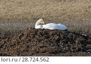 Купить «Whooper swan (Cygnus cygnus) incubating on its nest. Langbuness, Finnmark, Varanger fjord, Norway, May.», фото № 28724562, снято 17 июля 2018 г. (c) Nature Picture Library / Фотобанк Лори
