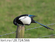 Купить «Eurasian magpie (Pica pica) cleaning its beak on a fencepost. Protecting its eye by lowering the nictitating membrane. Druridge Bay, Northumberland, UK, April.», фото № 28724566, снято 17 августа 2018 г. (c) Nature Picture Library / Фотобанк Лори