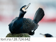 Купить «Great cormorant (Phalacrocorax carbo) on nest, Tromso, Norway. February», фото № 28724642, снято 17 июля 2018 г. (c) Nature Picture Library / Фотобанк Лори