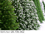 Купить «Conifer New Year's Christmas background from green artificial Christmas trees in the snow», фото № 28730362, снято 28 марта 2018 г. (c) Светлана Евграфова / Фотобанк Лори
