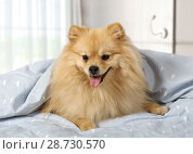 Купить «Cute pet at home», фото № 28730570, снято 26 июня 2018 г. (c) Алексей Кузнецов / Фотобанк Лори