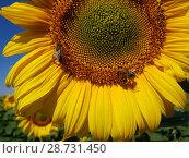 Купить «Large flower of sunflower with bees», фото № 28731450, снято 10 июля 2018 г. (c) Володина Ольга / Фотобанк Лори