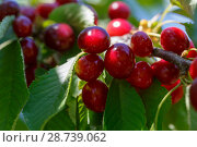 Купить «Bunches of ripe red cherry close-up on a sunny day in spring», фото № 28739062, снято 11 июня 2018 г. (c) Олег Белов / Фотобанк Лори