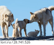 Купить «Sled dogs in the small town Uummannaq in the north of west greenland. During winter the dogs are still used as dog teams to pull sledges of fishermen. America, North America, Greenland, Denmark.», фото № 28741526, снято 27 августа 2017 г. (c) age Fotostock / Фотобанк Лори