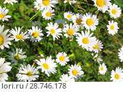 Купить «Floral background. Blooming white daisies on a green field in a sunny summer day.», фото № 28746178, снято 16 июня 2018 г. (c) Светлана Евграфова / Фотобанк Лори