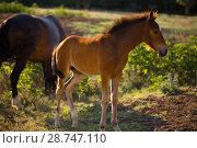 Купить «Табун лошадей в поле», фото № 28747110, снято 9 июня 2018 г. (c) Марина Володько / Фотобанк Лори