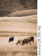 Купить «Udabno, Kakheti Region, Georgia. Cows Eating Grass In Autumn Pasture. Cows Graze On A Yellow Hill Slope In Sagarejo Municipality, Kakheti Region.», фото № 28750142, снято 23 октября 2016 г. (c) easy Fotostock / Фотобанк Лори