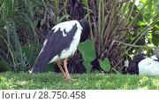 Купить «Magpie goose or Anseranas semipalmata black and white bird on green grass», видеоролик № 28750458, снято 2 июля 2008 г. (c) Куликов Константин / Фотобанк Лори