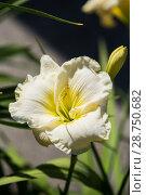Купить «White daylily hemerocallis», фото № 28750682, снято 12 июля 2018 г. (c) Юлия Бабкина / Фотобанк Лори
