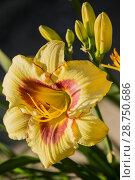 Купить «Yellow with red daylily hemerocallis», фото № 28750686, снято 12 июля 2018 г. (c) Юлия Бабкина / Фотобанк Лори