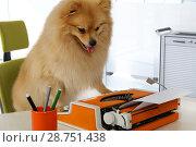 Купить «Funny Pomeranian dog typing on a typewriter», фото № 28751438, снято 26 июня 2018 г. (c) Алексей Кузнецов / Фотобанк Лори