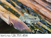 Купить «Озерная лягушка (Pelophylax ridibundus, Rana ridibunda)», фото № 28751454, снято 13 июля 2018 г. (c) Ирина Носова / Фотобанк Лори