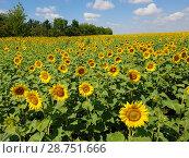 Купить «Agricultural cultivation of sunflower in the field. Russia», фото № 28751666, снято 10 июля 2018 г. (c) Володина Ольга / Фотобанк Лори