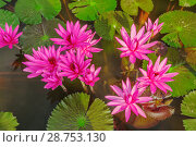 Купить «Лотосы на поверхности пруда», фото № 28753130, снято 21 июля 2018 г. (c) Александр Романов / Фотобанк Лори