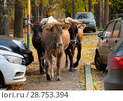 Коровы в городе. Стоковое фото, фотограф Юрий Пирогов / Фотобанк Лори