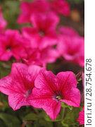 Купить «Petunia surfinia flowers.», фото № 28754678, снято 5 июня 2018 г. (c) easy Fotostock / Фотобанк Лори