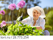 Купить «senior woman with garden pruner and allium flowers», фото № 28773254, снято 3 июня 2018 г. (c) Syda Productions / Фотобанк Лори