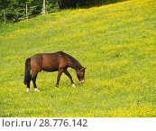 Купить «Horse grazing near Serignac-Peboudou, Lot-et-Garonne Department, Aquitaine, France.», фото № 28776142, снято 23 апреля 2018 г. (c) age Fotostock / Фотобанк Лори