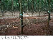 Плантация гевеи. Вьетнам, провинция Даклак (Дак Лак, Dak Lak) (2015 год). Стоковое фото, фотограф Щеголева Ольга / Фотобанк Лори