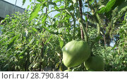 Fruits of tomato ripen on high bushes stock footage video. Стоковое видео, видеограф Юлия Машкова / Фотобанк Лори