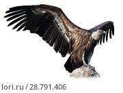 Купить «Griffon vulture on stone on white background», фото № 28791406, снято 22 октября 2018 г. (c) Яков Филимонов / Фотобанк Лори