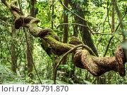Купить «Лиана в дождевом лесу Синхараджа, Шри Ланка», фото № 28791870, снято 25 апреля 2018 г. (c) Oriole Gin / Фотобанк Лори
