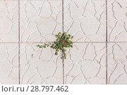 Купить «Grass weeds trickle through the paving slab», фото № 28797462, снято 16 августа 2017 г. (c) Акиньшин Владимир / Фотобанк Лори