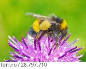Купить «A bumblebee collects nectar from a flower», фото № 28797710, снято 16 июля 2018 г. (c) Александр Клопков / Фотобанк Лори