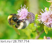 Купить «A bumblebee collects nectar from a flower», фото № 28797714, снято 16 июля 2018 г. (c) Александр Клопков / Фотобанк Лори