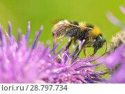 Купить «A bumblebee collects nectar from a flower», фото № 28797734, снято 13 июля 2018 г. (c) Александр Клопков / Фотобанк Лори