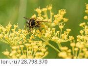 Купить «Пчела сидит на цветках укропа», эксклюзивное фото № 28798370, снято 9 июля 2018 г. (c) Игорь Низов / Фотобанк Лори